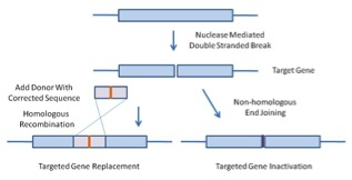 Figure 1.  Nuclease Mediated Double Stranded Breaks Stimulate Homologous Gene Replacement or Targeted Gene Inactivation.  If targeted nucleases are co-transfected with a homologous donor DNA fragment, homologous recombination replaces defective DNA with a corrected sequence (left).  In the absence of a DNA donor fragment, non-homologous end joining repairs the break, but with frequent insertions and deletions, thus inactivating the gene.