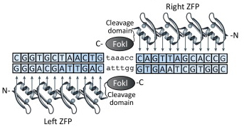Figure 2. Zinc-Finger Nucleases Bind as Dimers to Cut Double Stranded DNA. Adapted from Gaj et al.Trends Biotechnol. 2013 May 8. [Epub ahead of print]