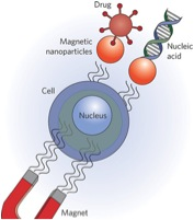 Schematic of localized magnetic delivery (taken from Nature Nano 2009 via Bing Images)