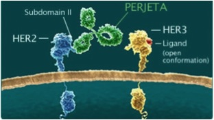Perjeta works by blocking signals inside cancer cells that would tell them to divide and grow Photo: Roche (taken from itv.com via Bing Images).  Differences between HER family receptors are described here.