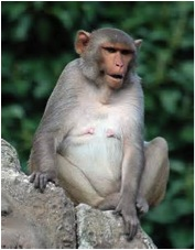 Rhesus macaque (taken from flickr.com via Bing Images)