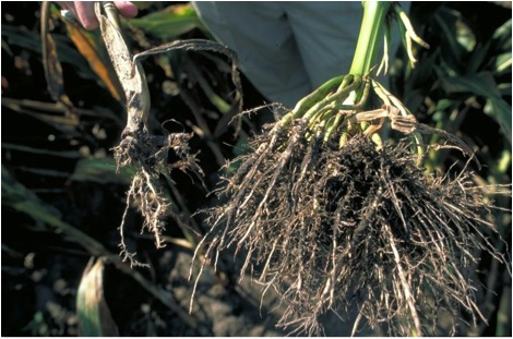 Corn rootworm damage. Photo: IPM Images (taken from intlcorn.com via Bing Images).