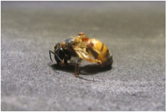 Monsanto is exploring the use of RNAi to kill a mite that may play a role in bee die-offs.  Photo: Monsanto (taken from nytimes.com).