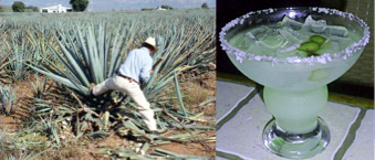 Harvesting a Blue Agave plant in Mexico involves hard work before processing into Agave Tequila and Agave Nectar (taken from inari-hof.de via Bing Images). Blue Agave Margarita is a refreshing source of oligofructose prebiotic (taken from experience-it-island-thyme.blogspot.com via Bing Images).