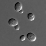 Saccharomyces cerevisiae are rather uninteresting looking microorganisms that have exceptionally important utility (taken from Wikipedia).