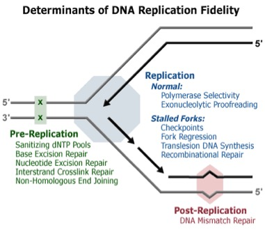 Mechanisms involved in DNA replication: pre-replication, replication and post-replication. Taken from DNA Replication Fidelity Group via Google Images.