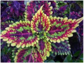 Coleus forskohlii (taken from ilfitness.com)
