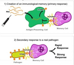 Vaccination with mRNA induces a primary response (1) by instructing the body's cells to produce an antigen that is presented to the immune system. This activates specific cells, which create a memory for this antigen. Later, when the real pathogen is present (2), those cells recognize the same antigen and react rapidly and strongly against the infectious agent (secondary response). Taken from sitn.hms.harvard.edu.