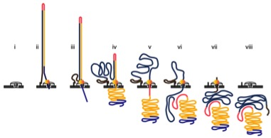 Steps in DNA translocation through the nanopore: (i) open channel; (ii) dsDNA with lead adaptor (blue), bound molecular motor (orange) and hairpin adaptor (red) is captured by the nanopore; capture is followed by translocation of the (iii) lead adaptor, (iv) template strand (gold), (v) hairpin adaptor, (vi) complement strand (dark blue) and (vii) trailing adaptor (brown); and (viii) status returns to open channel. Taken from Jain et al. Nature Methods 2015.