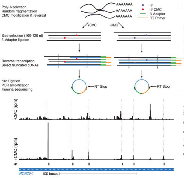 Pseudo-seq: (Top) Genome-wide Ψ-sequencing sample prep with (+) or without (-) CMC treatment. (Bottom) Ψ reads-mapping to a 200-nt region of chromosome XII of a yeast strain.