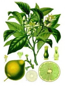 Bergamot orange (Citrus bergamia). Taken from Wikipedia.