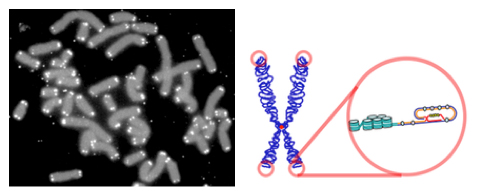 Human chromosomes (grey) capped by telomeres (white), which have G-rich sequences that can form four-stranded, G-quadruplexes—see my previous blog—at the ends as depicted (circles). Taken from wikipedia.org.