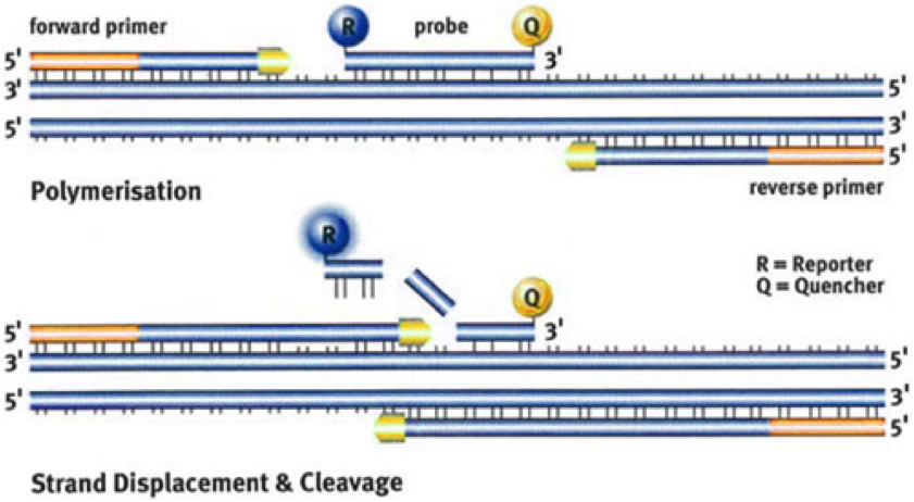 ZIKV single-stranded RNA is reverse-transcribed (not show) into cDNA that is amplified with forward and reverse primers into double-stranded DNA for detection using a double-labeled (R and Q) fluorogenic probe. Taken from eurofinsgenomics.eu