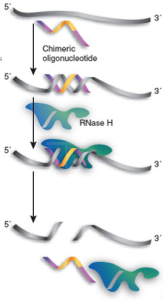 Gapmer (aka chimeric oligonucleotide) enables RNase H-mediated cleavage of RNA. Taken from nature.com