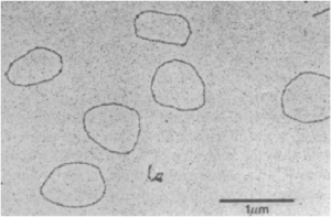 Electron micrograph of ~3,000-nt circular 20S RNA from yeast. Taken from Matsumoto et al. (1990) PNAS.