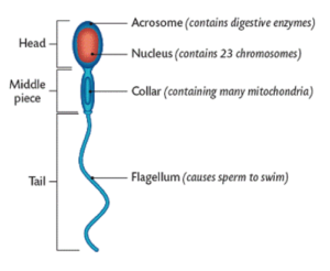 Human sperm. Taken from leavingbio.net