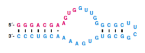 GTP aptamer showing red and cyan sequences corresponding to above cartoon. Taken from Horning & Joyce, Proc. Natl. Acad. Sci., 2016