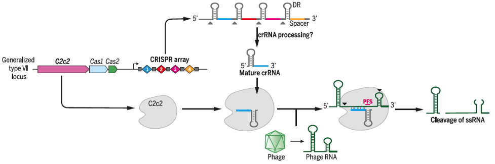 CRISPR-C2c2 from L. shahii reconstituted in E. coli to mediate interference of the RNA phage MS2 via crRNA facilitated by the two HEPN nuclease domains. Taken from Abudayyeh et al.