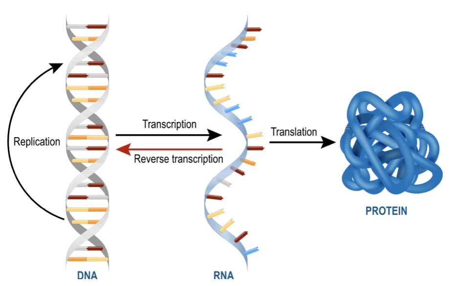 Who Discovered Messenger RNA (mRNA)? - Zone in With ZonZone in With Zon